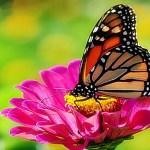La mariposa monarca amenazada de extinción por el uso de glifosato