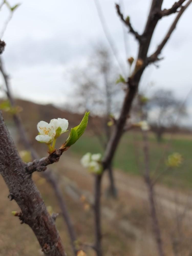 Konya'da kış mevsiminde erik ağacı çiçek açtı