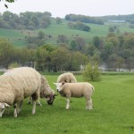Yorkshire Sculpture Park: grazing sheep