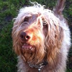 Take12Trips: Alfie the Labradoodle