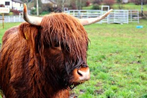 Highland Fairytale: Hairy Coo