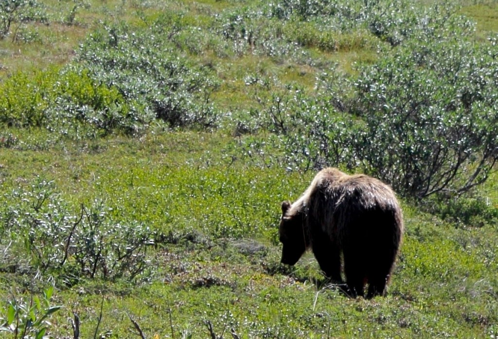 Denali Park Road: long shot of grizzly bear foraging
