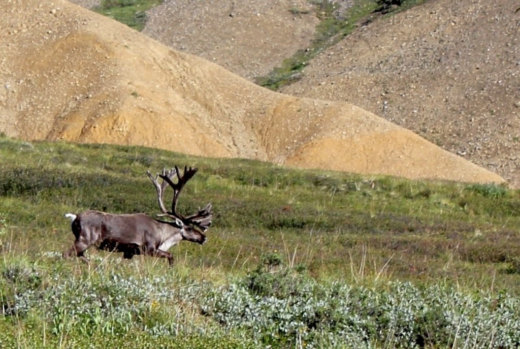 Denali National Park: a mature male caribou with huge antlers