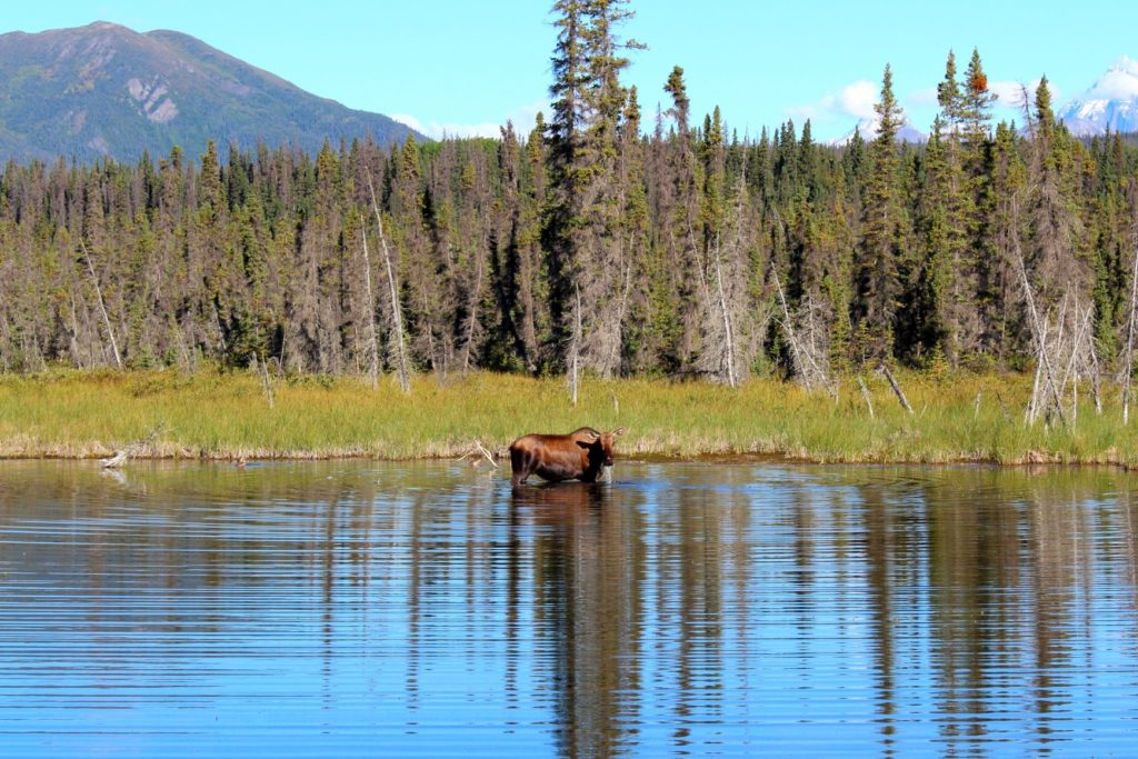 #ExploreTheElements: Water - a moose bathes in a mirror-like lake, causing ripples.
