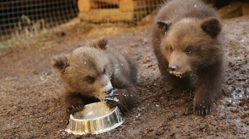 Two grizzly bear cubs, at the Orphan Bear Rescue Centre. One bear is feeding on porridge from a bowl.