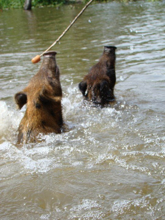 2 wild boars swimming towards our boat and a stick with a hotdog attached.