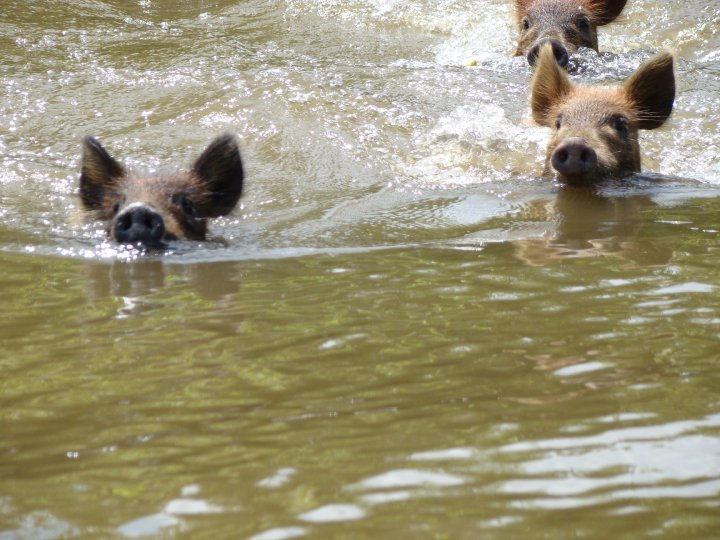 Wild boars swimming towards our boat in Honey Island Swamp.