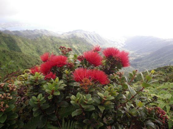ʻŌhiʻa (Metrosideros polymorpha) on Wiliwilinui Ridge.