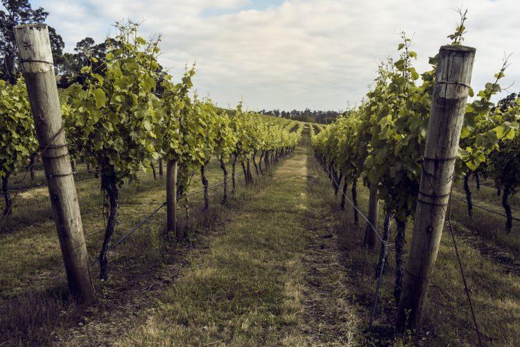 Drumul Vinului din Podgoria Dealu Mare - Ce crame să vizitați?