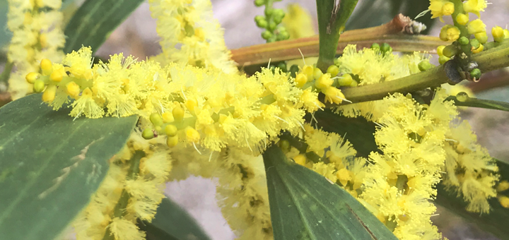 Wattle (Acacia) and its many uses - Koori History