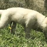 White Dingo pup