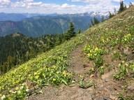Yellow Glacier Lillies