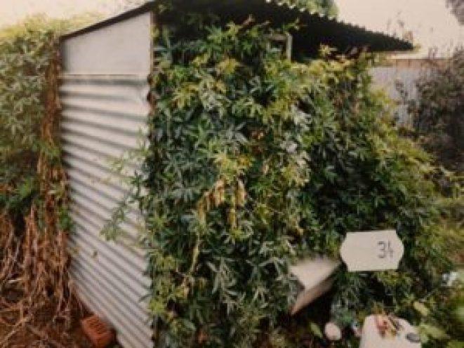horne_cannabis_crop