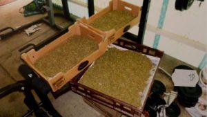 horne_cannabis_crop2