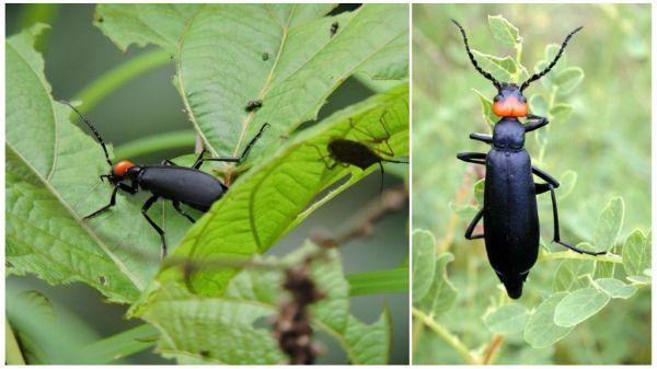 Черный жук шпанка как бороться с насекомым его фото и