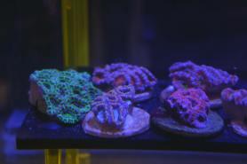 Korallenzucht Karlsruhe
