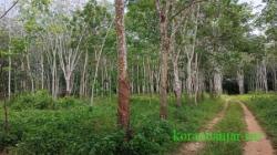 Perkebunan karet di wilayah Kecamatan Mataraman, Kabupaten Banjar. (foto: dairobi)