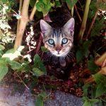 Haiku de Natsume Soseki: 'Ojos de gato'
