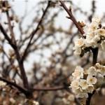 Hanami o la floración de los cerezos