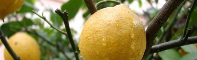 lemon_on_tree.jpg