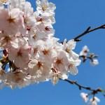 桜をもっと魅力的に!花見がより一層楽しくなる7つの楽しみ方!
