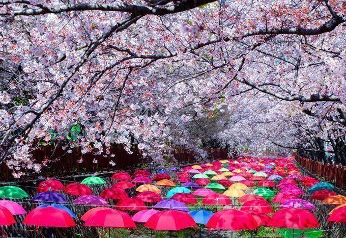 Spring Season In Korea 2021 Cherry Blossom Forecast Koreabyme