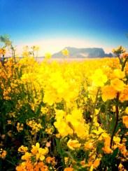Sunrise Peak and iconic yellow flowers of Jeju