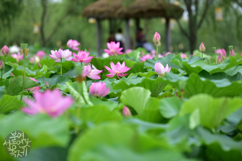Buyeo Seodong Lotus Festival | koreatourinformation.com