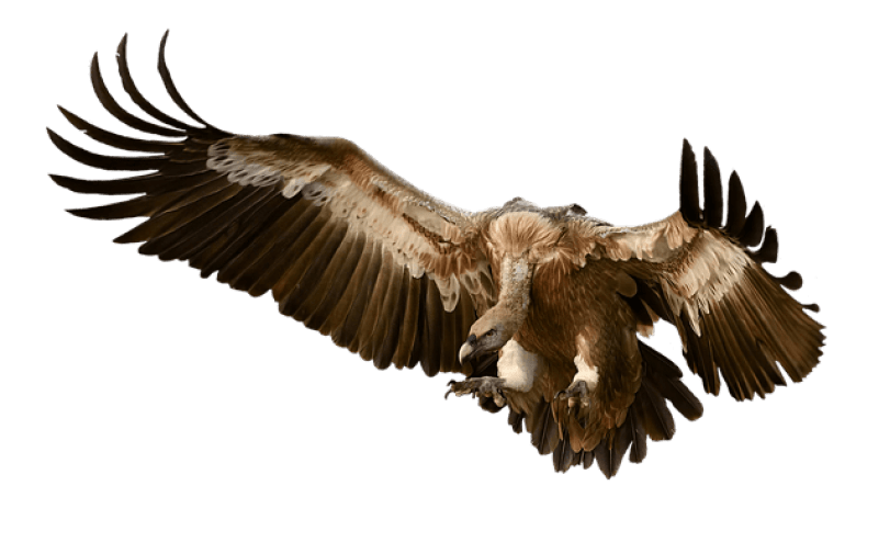 vulture, bird, prey