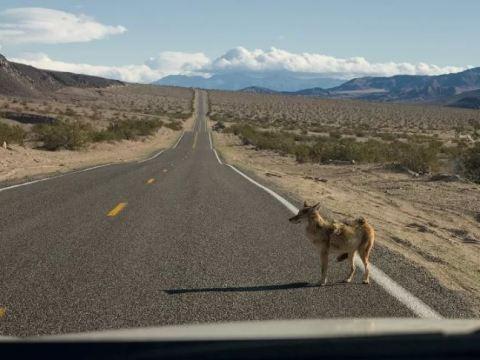 Койот на дороге.