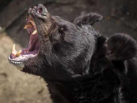 Черный медведь.