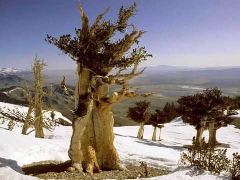 Самые старые деревья в мире.