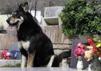 Верный пёс умирает на могиле своего хозяина