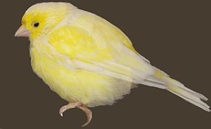 Canary sans coal mine