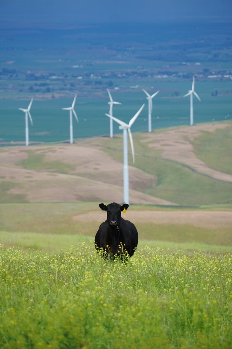 black cow on grass field under sunny sky