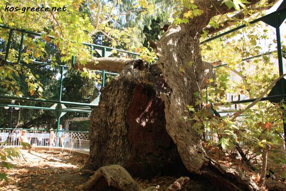 Plane Tree of Hippocrates photo