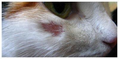 Как выглядит розовый лишай на кошке Заболевания кожи
