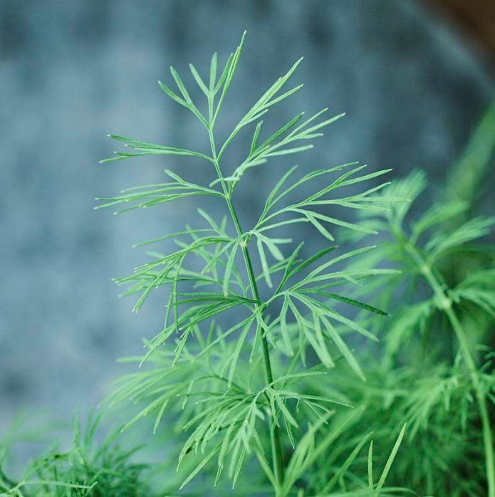 dill_herb_garden