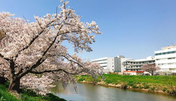 2020北越谷桜堤の桜
