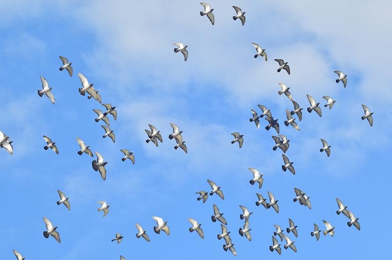 大空を舞う鳩の群れ