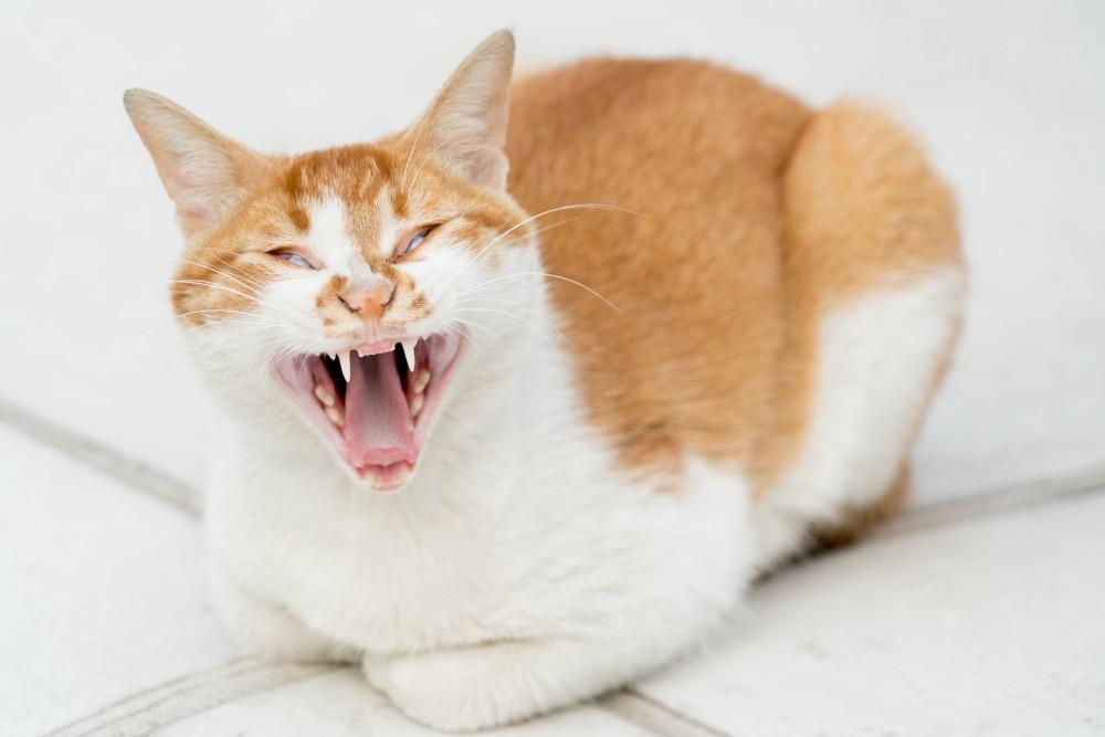 Огуречный цепень у кошек опасен для человека Как избавиться от огуречного цепня у кошек