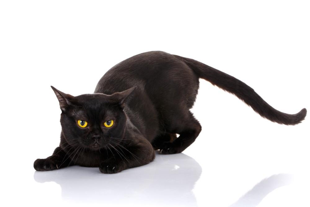 Болеют ли кошки туберкулезом легких. Туберкулез у кошек. Туберкулез животных