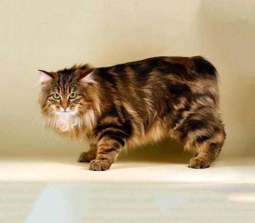 Гингивит у кошек — лечим болезнь десен в домашних условиях. Чем правильно лечить гингивит или воспаление десен у кошек