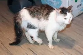 Кошка подвернула лапу что делать. Растяжение связок у кошки: учимся определять и лечить. Видео о лечении сложного перелома лапы у кошки