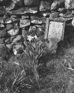 14. Daffodils and wall