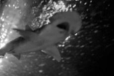dream-shark_web