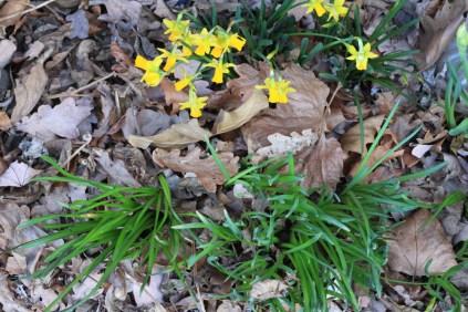 Frühlingslumen im Laub