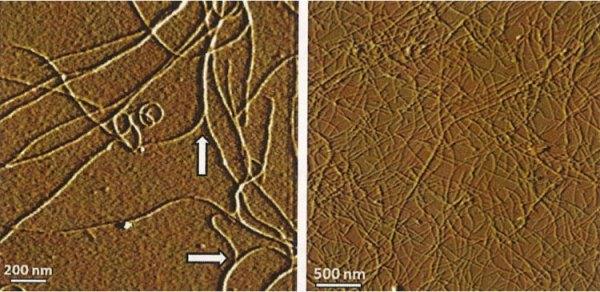 Snímek pořízený pomocí AFM (Atomic Force Microscope) ukazuje časné a pozdní fáze růstu dlouhých vláken z roztoku lysozymových proteinů.