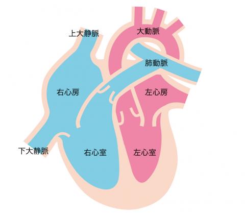 心臓の左心室・右心室・左心房・左心室の解説1