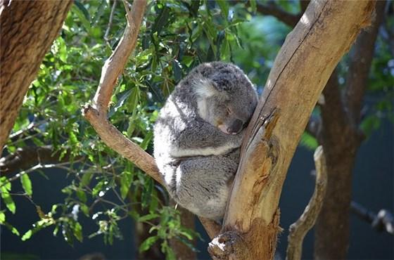 ブリスベンにいるコアラの写真